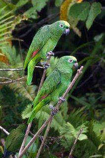 Yellow-crowned Parrot - Amazona ochrocephala