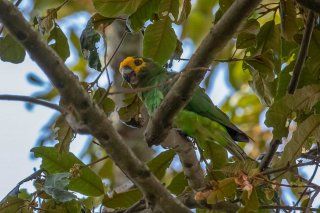 Yellow-fronted Parrot - Poicephalus flavifrons