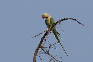 Alexandrine Parakeet - Psittacula eupatria