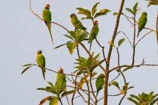 Blossom-headed Parakeet - Psittacula  geoffroyi