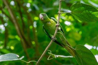 Blue-backed Parrot - Tanygnathus sumatranus