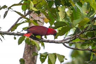 Eclectus Parrot (f) - Eclectus roratus