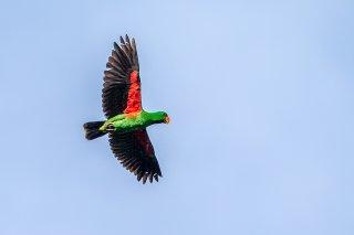 Eclectus Parrot (m) - Eclectus roratus