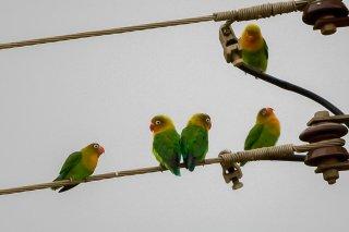 Fischer's Lovebird - Agapornis fischeri