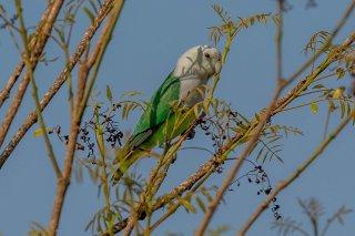 Gray-headed Lovebird - Agapornis canus