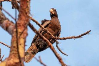 Greater Vasa Parrot - Coracopsis vasa