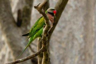 Red-breasted Parakeet (m) - Psittacula alexandri