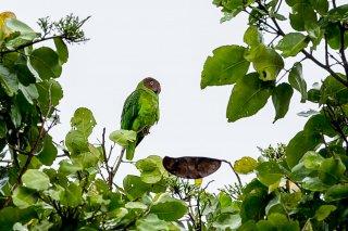 Red-cheeked Parrot (f) - Geoffroyus geoffroyi