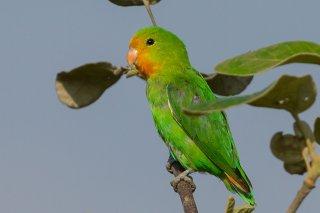 Red-headed Lovebird - Agapornis pullarius