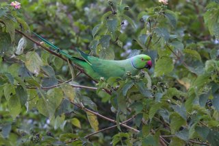 Rose-ringed Parakeet - Psittacula krameri