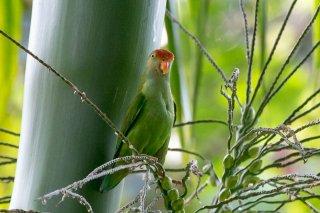 Sri Lanka Hanging Parrot - Loriculus beryllinus