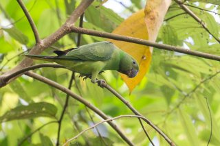 Sri Lanka Layard's Parakeet - Psittacula calthrapae