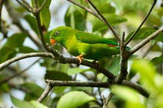 Vernal Hanging Parrot - Loriculus vernalis