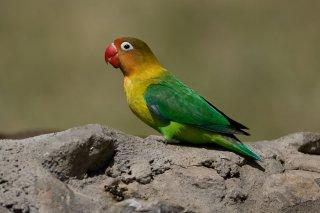 Yellow-collared Lovebird - Agapornis personatus