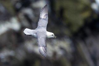 Northern Fulmar - Fulmarus glacialis