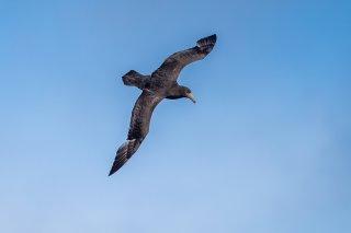 Southern Giant Petrel - Macronectes giganteus