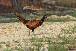 Copper_Pheasant.jpg