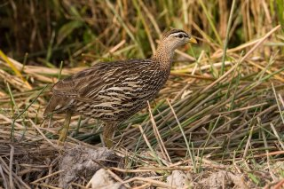 Double-spurred_Francolin.jpg
