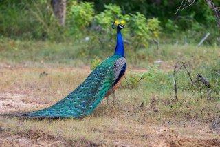 Indian_Peafowl.jpg