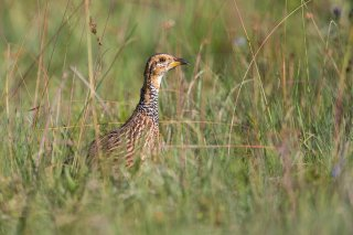 Red-winged_Francolin.jpg