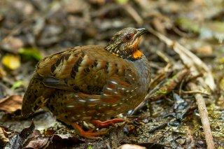 Rufous-throated_Partridge.jpg