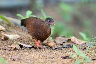 Sri_Lanka_Spurfowl_f.jpg