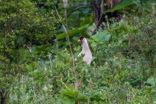 White-eared_Pheasant.jpg
