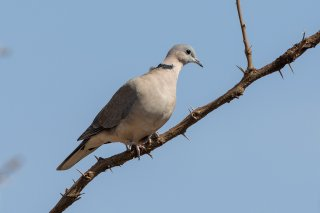 African_Collared_Dove.jpg