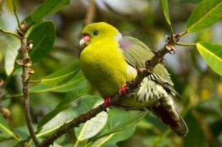 African_Green_Pigeon.jpg