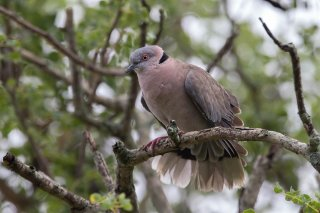 African_Mourning_Dove.jpg
