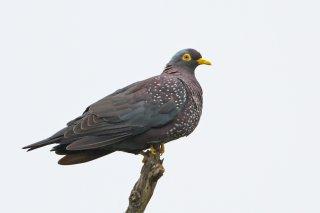 African_Olive_Pigeon.jpg