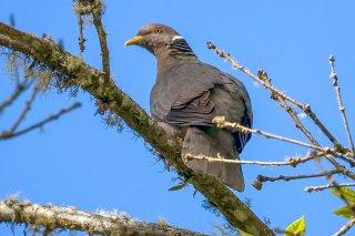 Band-tailed_Pigeon.jpg