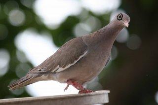 Bare-eyed_Pigeon.jpg