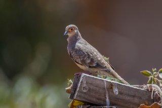 Bare-faced_Ground-Dove.jpg
