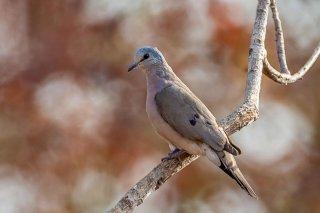 Black-billed_Wood-Dove.jpg