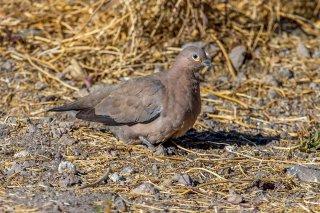 Black-winged_Ground-Dove.jpg