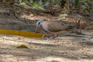 Blue-spottted_Wood_Dove.jpg