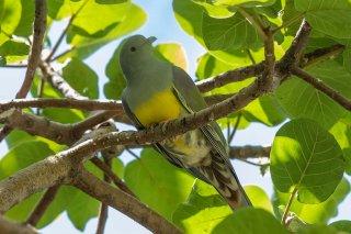 Bruces_Green-Pigeon.jpg