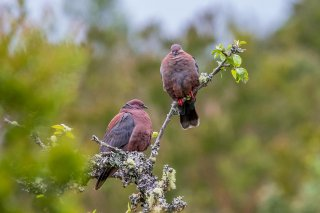 Chilean_Pigeon.jpg