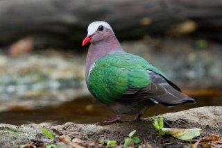 Common_Emerald_Dove.jpg