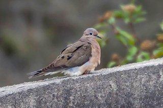 Common_Ground_Dove.jpg