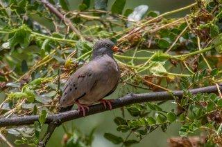 Croaking_Ground-Dove.jpg