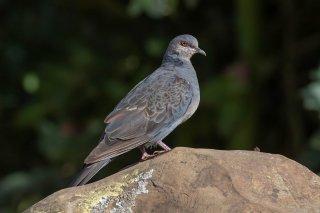Dusky_Turtle-Dove.jpg