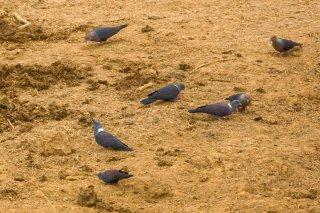 Eastern_Bronze-naped_Pigeon.jpg