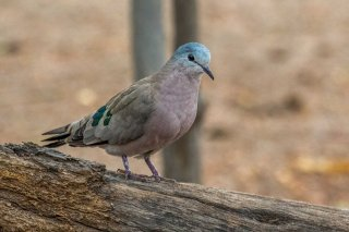 Emerald-spotted_Wood_Dove.jpg
