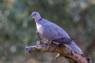 Eurasian_Collared_Dove.jpg