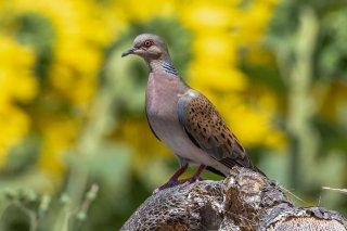 European_Turtle_Dove.jpg