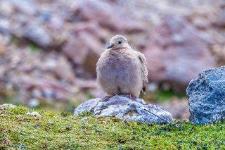 Golden-spotted_Ground-Dove.jpg