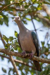 Green_Imperial_Pigeon.jpg