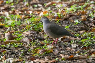 Grey-chested_Dove.jpg